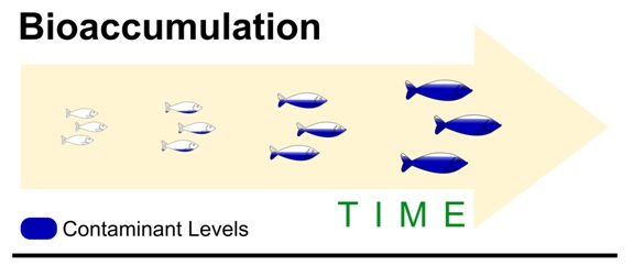 bioaccumulation