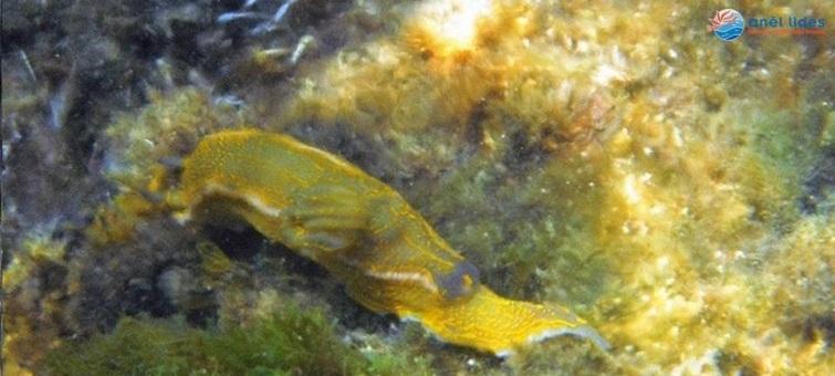 els-opistobranquis-un-mar-ple-de-colors