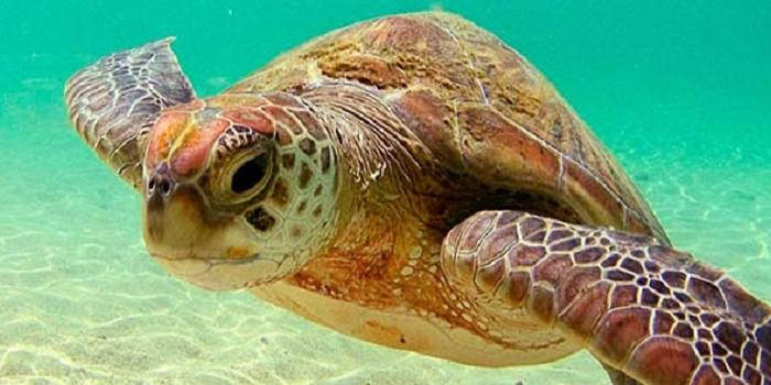 tortugues-marines